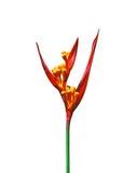 psittacorum för blommaheliconiaparakiter Arkivbild