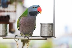 Psittacula alexandri parrot on an iron perch looking at camera c. Lose-up, China Royalty Free Stock Photography