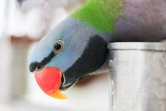 Psittacula alexandri parrot looking at camera head close-up. China Royalty Free Stock Photos