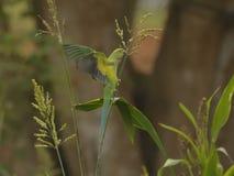 Psittacula krameri或罗斯圈状的长尾小鹦鹉-饲料作物 免版税图库摄影