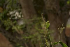 Psittacula krameri或罗斯圈状的长尾小鹦鹉-饲料作物 库存照片