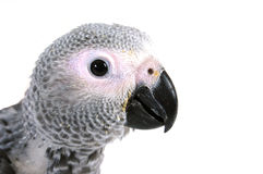 Free Psittacus Erithacus Royalty Free Stock Photography - 3819667