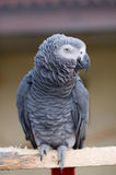 Psittacus erithacus. African Grey Parrot Royalty Free Stock Photography