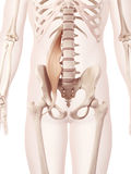 The psoas major Stock Image