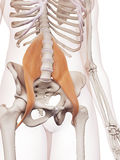 The psoas major Royalty Free Stock Image