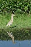 Pássaro chinês da garça-real da lagoa Imagens de Stock Royalty Free
