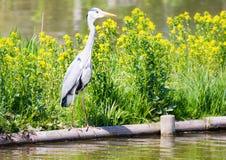 Pássaro cinzento da garça-real que está na água Imagens de Stock