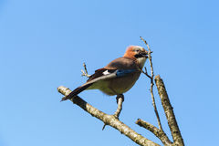 Pássaro da mola do canto em uma árvore inoperante no jardim - a vida vai sobre Foto de Stock Royalty Free