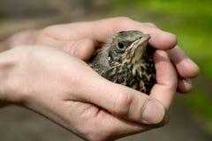 Pássaro de bebê Fotografia de Stock Royalty Free
