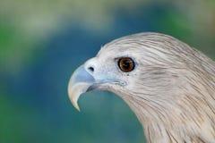 Pássaro de rapina Fotografia de Stock Royalty Free
