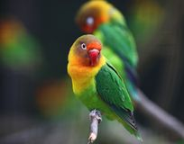 Pássaro do amor Imagem de Stock