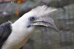 Pássaro do cabelo branco Imagens de Stock Royalty Free