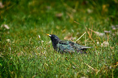 Pássaro do estorninho na grama Fotografia de Stock
