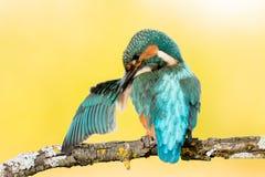 Pássaro do martinho pescatore que enfeita-se em um ramo Imagem de Stock
