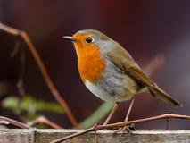 Pássaro do pisco de peito vermelho Foto de Stock Royalty Free