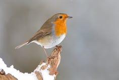 Pássaro do pisco de peito vermelho do inverno Foto de Stock Royalty Free