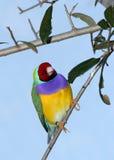 Pássaro em uma filial Imagens de Stock Royalty Free