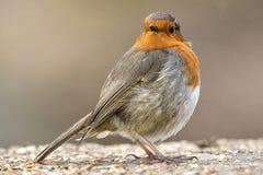 Pássaro europeu do pisco de peito vermelho Foto de Stock Royalty Free