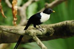 Pássaro --- Myna Branco-necked Imagem de Stock Royalty Free