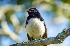 Pássaro nativo de Willy Wagtail do australiano do close up que senta-se no ramo de árvore Fotografia de Stock
