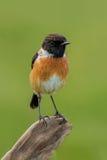 Pássaro pequeno em um ramo magro Imagens de Stock Royalty Free