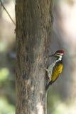 Pássaro preto-rumped do flameback em Nepal Fotos de Stock