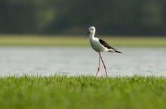 pássaro Preto-voado do Stilt Imagem de Stock