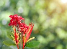 Pássaro vermelho da flor de paraíso na natureza verde Fotos de Stock Royalty Free