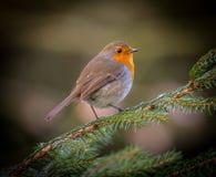 Pássaro vermelho do peito do pisco de peito vermelho Imagens de Stock