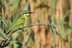 Pássaros azuis de África do Sul do comedor de abelha de Cheeked Fotografia de Stock