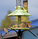 Pássaros brilhantes do quintal no alimentador Fotografia de Stock Royalty Free