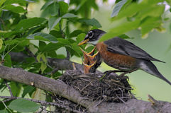 pássaros de bebê Fotografia de Stock Royalty Free