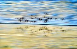 Pássaros de costa no movimento Foto de Stock Royalty Free