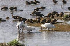 Pássaros de Wather no lago Manyara Imagem de Stock Royalty Free