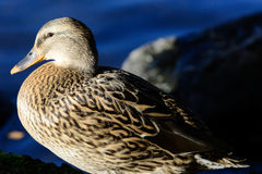 Pássaros do outono na água Imagens de Stock