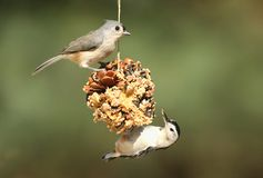 Pássaros em Suet Feeder Foto de Stock