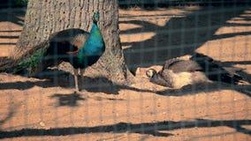 Pássaros masculinos e fêmeas do pavão na gaiola do jardim zoológico filme