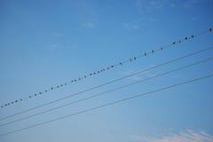 Pássaros no céu azul do fio Imagens de Stock Royalty Free