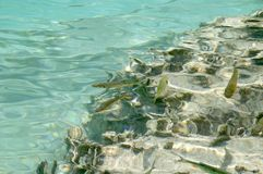 pstrąg obrazu ryb pod wodą Obraz Royalty Free