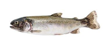 Pstrąg ryba odizolowywająca na bielu bez cienia Zdjęcia Royalty Free