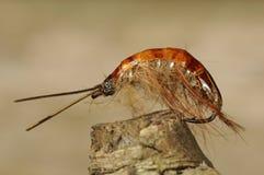Pstrągowa komarnica zdjęcia stock