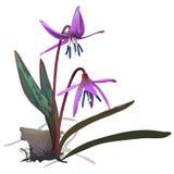 Pstrągowa leluja lub Dogtooth fiołek - Erithronium canis Zdjęcie Royalty Free