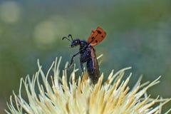 Pstrobarwna pluskwa na kwiacie przygotowywającym latać Obraz Stock