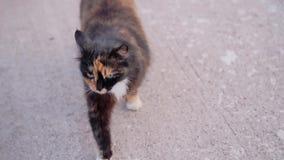 Pstrobarwny pi?kny domowy kot obraca, biega bezpo?rednio kamera i patrzeje wyra?nie w obiektyw Ch?odno materia? filmowy zbiory wideo