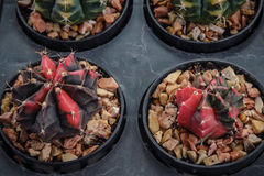 Pstrokaci kaktusa Obraz Royalty Free