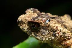 pstrząca czarny żaba Obraz Royalty Free