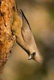 pstrząca ptasia mysz Zdjęcie Stock