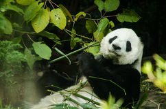 Psująca panda Obraz Royalty Free