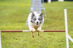 Psy ćwiczy sport zwinność Fotografia Stock