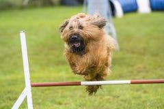 Psy ćwiczy sport zwinność Obrazy Stock